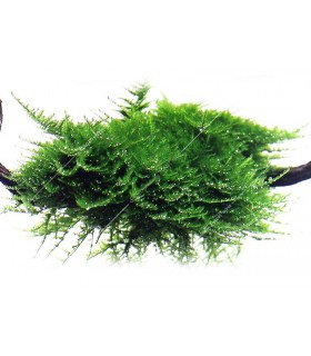 """Tropica növény - Vesicularia dubyana """"Christmas"""" - Karácsony moha"""