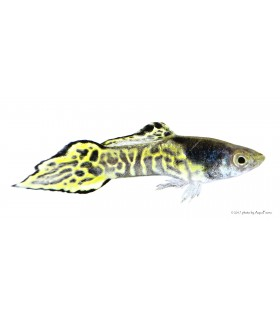 Poecilia sp. - Tigris Endler guppy