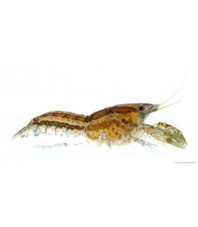 Cambarellus diminutus - Törperák