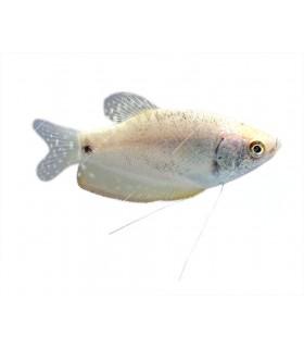 Trichogaster microlepis - Ezüst gurámi