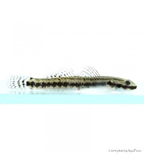 Stiphodon sp. - Algázó géb