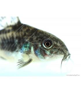 Corydoras paleatus - Foltos páncélosharcsa