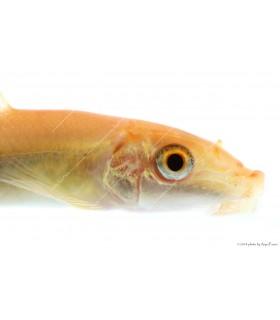 Gyrinocheilus aymonieri - Arany aymonieri
