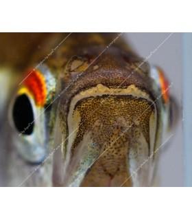 Hyphessobrycon herbertaxelrodi - Fekete neonhal