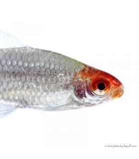 Petitella georgiae - Vörösorrú pontylazac