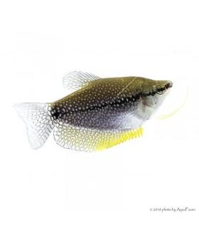 Trichogaster leeri - Gyöngygurámi