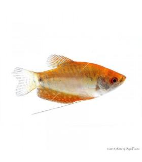 Trichogaster sp. - Arany gurámi