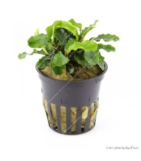 "Bucephalandra spec. ""Wavy Green"" (Tropica)"