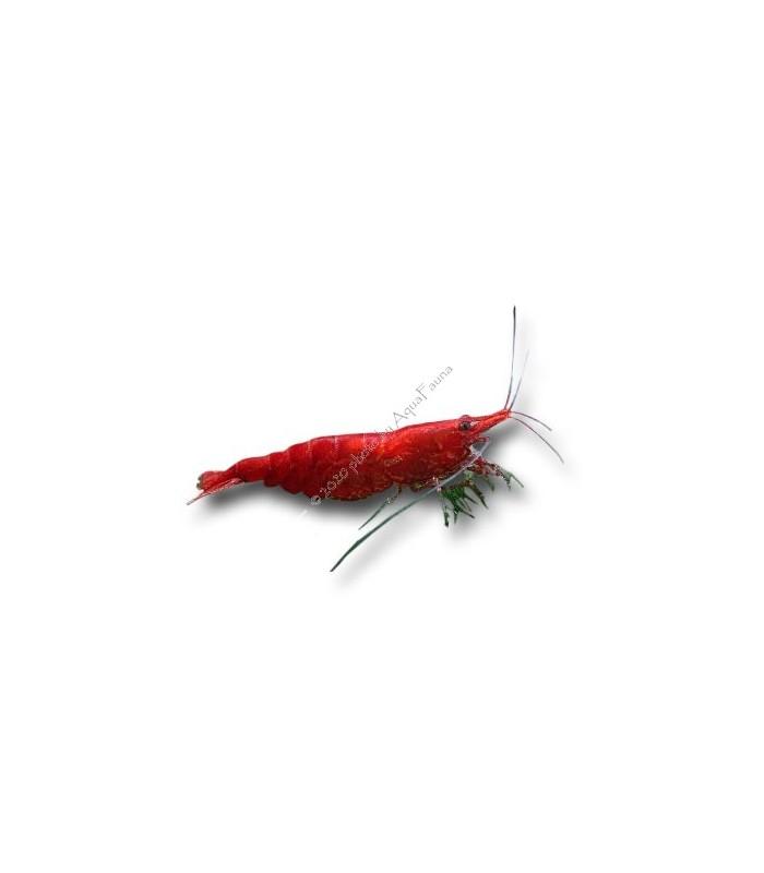 Neocaridina davidi (heteropoda) var. Red Sakura - Red Sakura garnéla