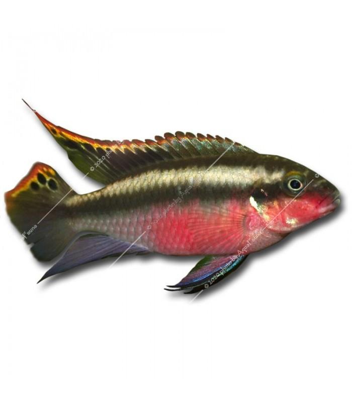 Pelvicachromis pulcher - Meggyhasú sügér