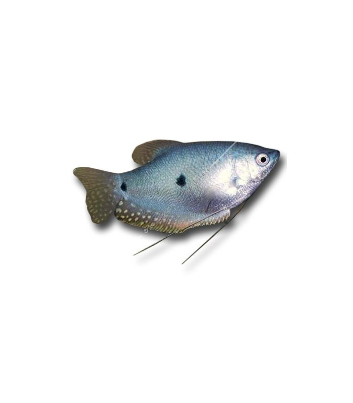 Trichogaster trichopterus - Kék gurámi