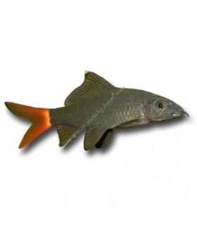 Labeo bicolor - Stendhal hal