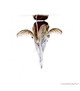 Carnegiella strigata - Márvány baltahasú pontylazac