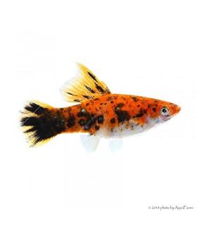 Xiphophorus helleri sp. - Tricolor xipho