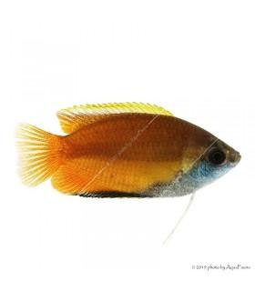 Trichogaster chuna - Méz gurámi