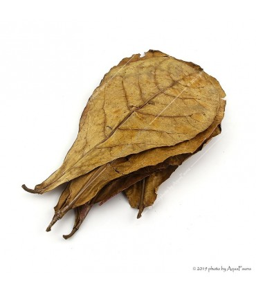 Terminalia catappa - Indiai mandulalevél (tebanglevél) / csomag (5 levél)