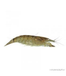 Atyopsis moluccensis - Legyezőgarnéla