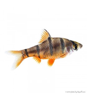 Barbus pentazona - Ötcsíkos márna