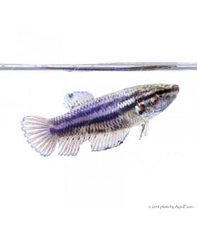 Betta splendens - Sziámi harcoshal (nőstény)