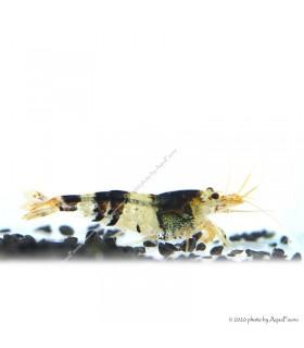 Caridina cf. cantonensis - Black Crystal garnéla - CBS