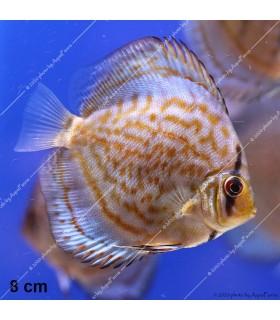 Stendker diszkoszhal - Symphysodon - Kobalt - 8 cm