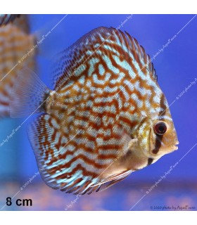 Stendker diszkoszhal - Symphysodon - Brilliant türkiz - 8 cm