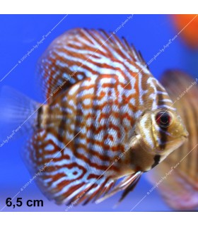 Stendker diszkoszhal - Symphysodon - Red Scribbelt - 6,5 cm