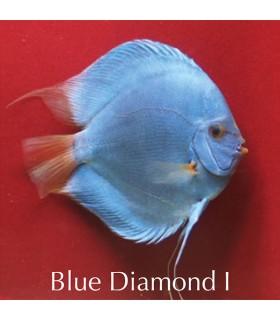 Stendker diszkoszhal - Symphysodon - Blue Diamond - 8 cm