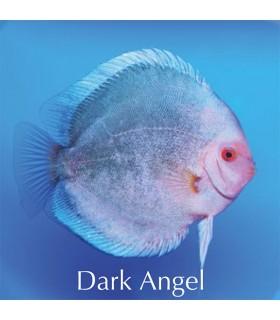 Stendker diszkoszhal - Symphysodon - Dark Angel - 8 cm