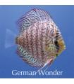 Stendker diszkoszhal - Symphysodon - German Wonder - 6,5 cm