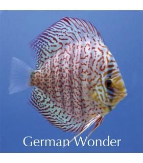 Stendker diszkoszhal - Symphysodon - German Wonder - 8 cm