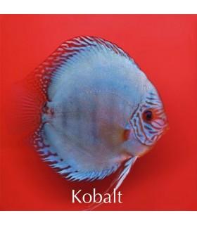 Stendker diszkoszhal - Symphysodon - Kobalt - 6,5 cm