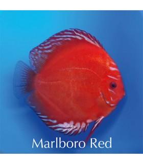 Stendker diszkoszhal - Symphysodon - Marlboro Red - 8 cm