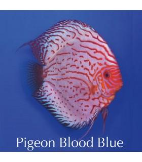 Stendker diszkoszhal - Symphysodon - Pigeon Blood Blue - 8 cm