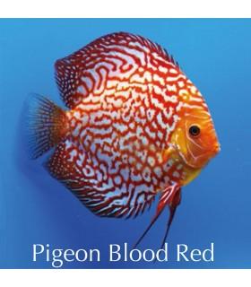 Stendker diszkoszhal - Symphysodon - Pigeon Blood Red - 6,5 cm