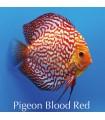 Stendker diszkoszhal - Symphysodon - Pigeon Blood Red - 8 cm