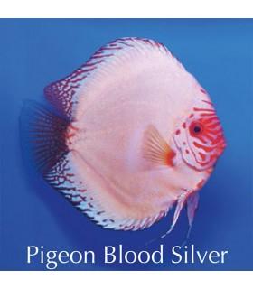 Stendker diszkoszhal - Symphysodon - Pigeon Blood Silver - 8 cm
