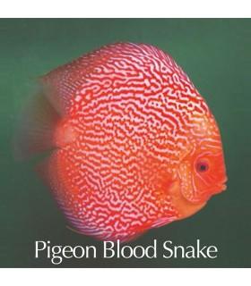 Stendker diszkoszhal - Symphysodon - Pigeon Blood Snake - 6,5 cm