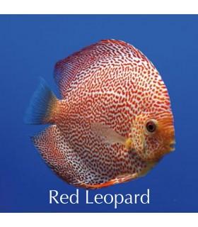 Stendker diszkoszhal - Symphysodon - Red Leopard - 8 cm