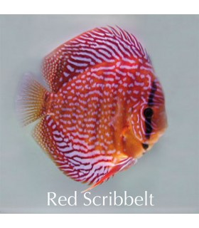Stendker diszkoszhal - Symphysodon - Red Scribbelt - 8 cm