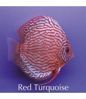 Stendker diszkoszhal - Symphysodon - Red türkiz - 8 cm