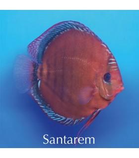 Stendker diszkoszhal - Symphysodon - Santarem - 8 cm