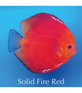 Stendker diszkoszhal - Symphysodon - Solid Red Fire - 8 cm