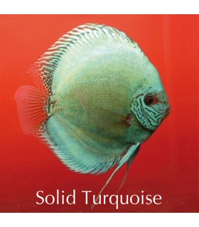 Stendker diszkoszhal - Symphysodon - Solid türkiz - 10 cm