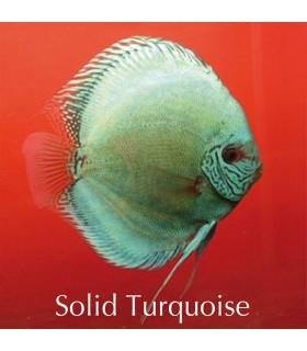 Stendker diszkoszhal - Symphysodon - Solid türkiz - 8 cm