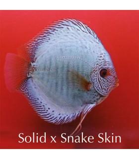 Stendker diszkoszhal - Symphysodon - Solid X Snake skin - 10 cm