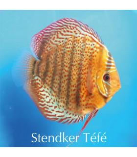 Stendker diszkoszhal - Symphysodon - Tefé - 6,5 cm