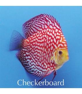 Stendker diszkoszhal - Symphysodon - Checkerboard - 6,5 cm
