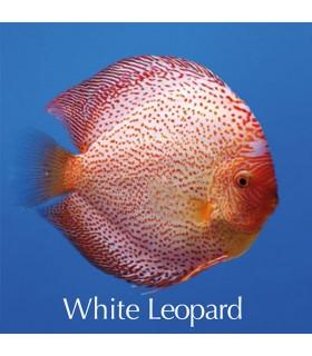Stendker diszkoszhal - Symphysodon - White Leopard - 6,5 cm