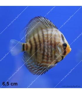 Stendker diszkoszhal - Symphysodon - Red türkiz - 6,5 cm